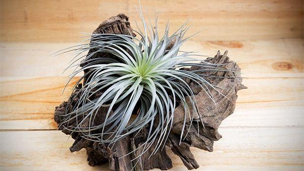 Tillandsia, la pianta antismog che vive d'aria