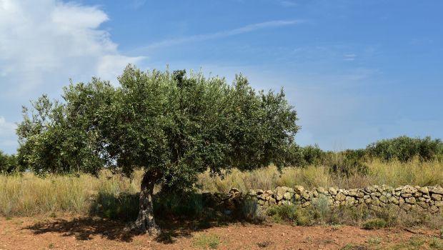 Coltivazione e cura dell'ulivo: ecco come fare