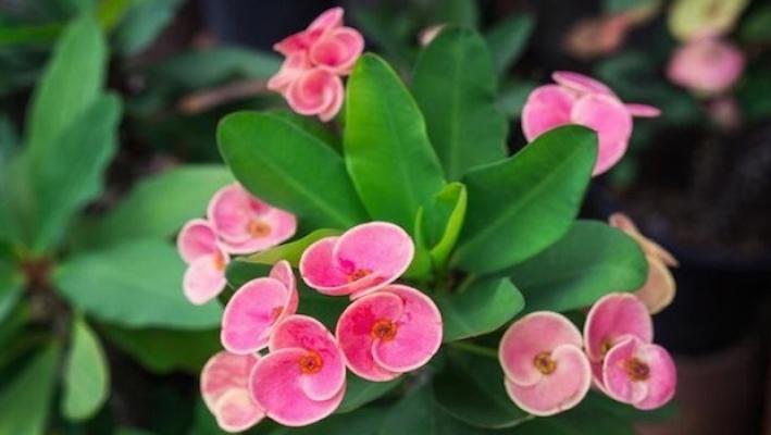Euphorbia, una pianta da scoprire