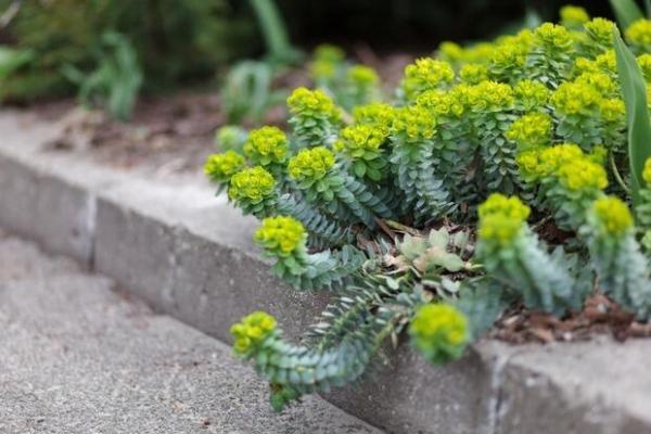 Euforbia: in vaso o in giardino
