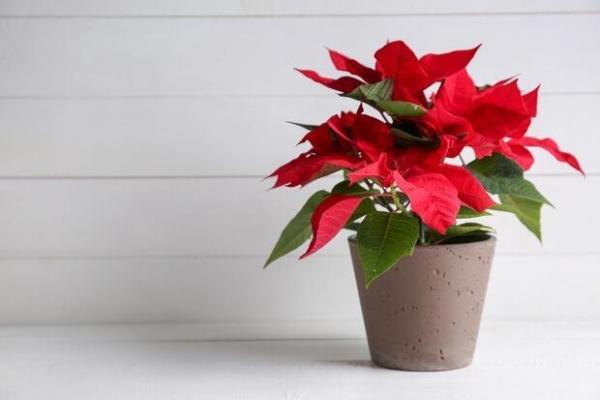Euphorbia pulcherrima o Stella di Natale