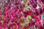 Parthenocissus Quinquifolia su Amazon