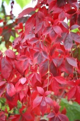 Vite ornamentale a foglie rosse