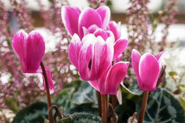 Ciclamino: pianta resistente a freddo e gelo