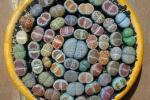 Mix di Lithops in vaso: semi su Amazon