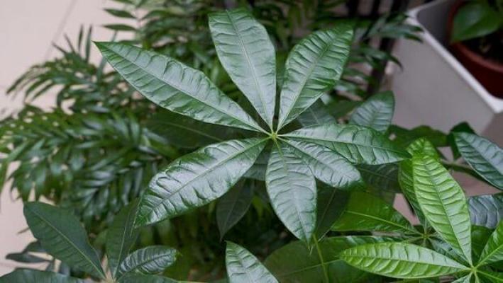 Pachira acquatica, pianta sempreverde tropicale