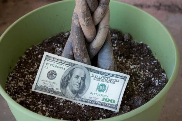 Pachira acquatica, nota come albero del denaro