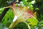 Pachira acquatica, fiori grandi e particolari