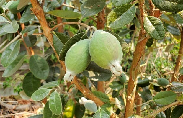Frutti di Feijoa da homesteadandchill.com