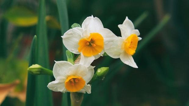 Bulbi autunnali: il narciso - Fonte foto: Unsplash