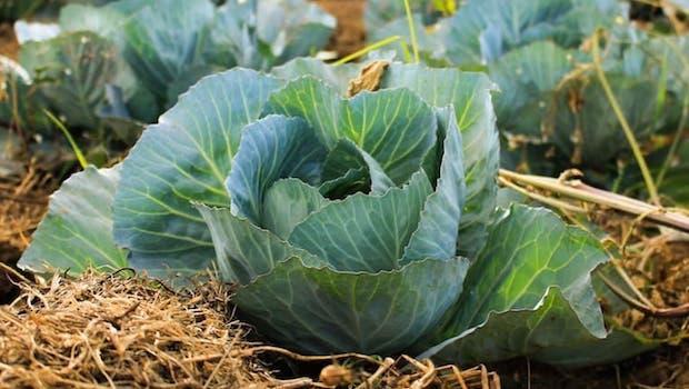 Coltivare gli ortaggi d'autunno: il cavolo - Fonte foto: Unsplash