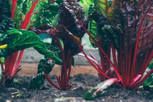 Coltivazione autunnale ortaggi: la bieta - Fonte foto: Unsplash