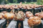 Piante da coltivare in autunno: le cipolle - Fonte foto: Unsplash