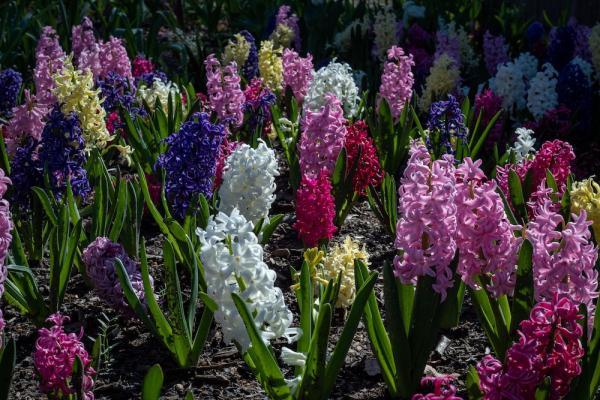 Fiori autunnali: il giacinto - Fonte foto: Unsplash