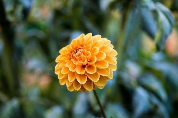 Fiori autunnali: crisantemo - Fonte foto: Unsplash