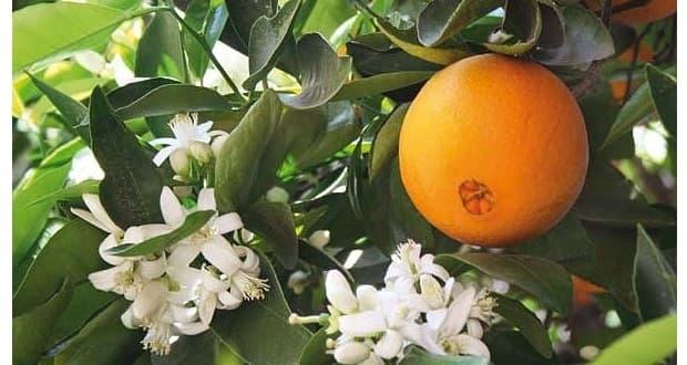 Fiori d'arancio da garden.centr.gr