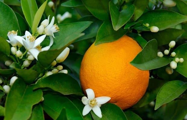 Frutto di fiore d'arancio