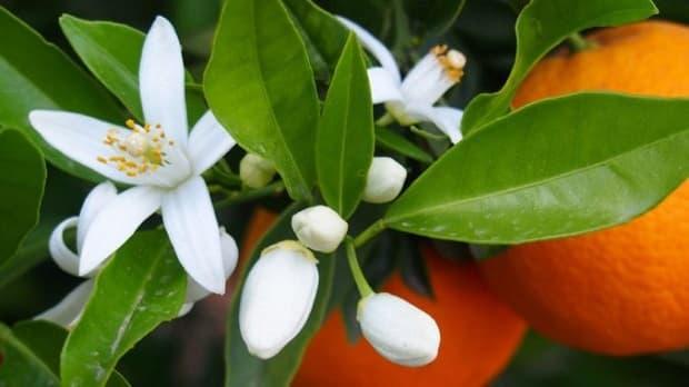 Fiore d'arancio zagara da lesjardinsdelamedina.com