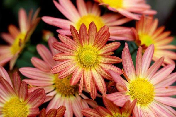 I crisantemi hanno un enorme varietà di colorazioni.