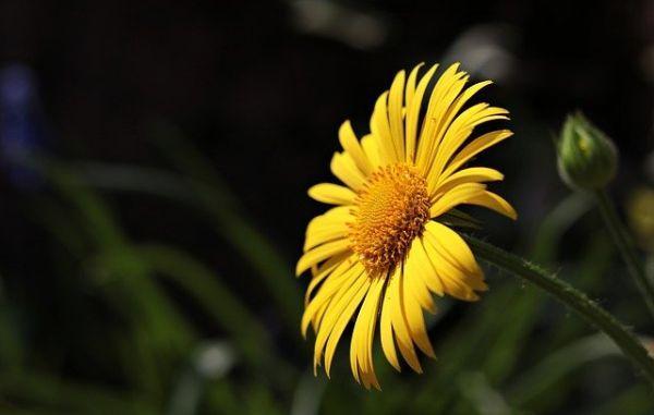 Esistono due tipologie di margherite, le classiche con fiori bianchi e quelle con fiori gialli.