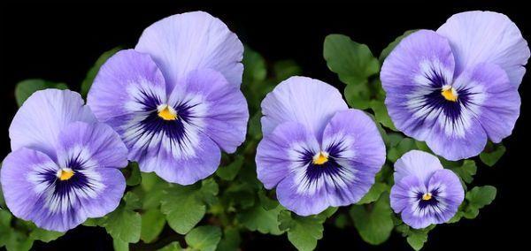 Le viole del pensiero, fiori bellissimi e molto delicati, resi famosi dal film