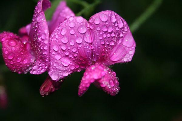 I piselli odorosi sono rampicanti molto belli che amano molto l'umidità.