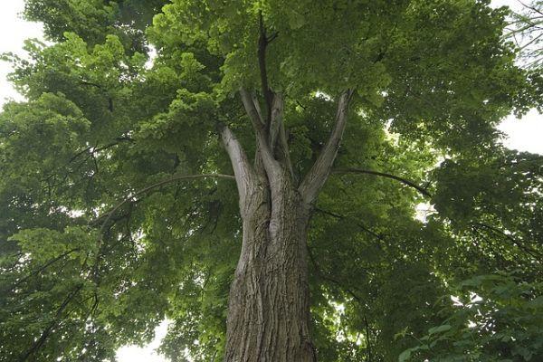 Un tiglio lasciato crescere liberamente senza potatura potrebbe diventare molto ingombrante per un giardino.