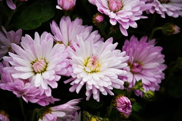 Crisantemi in fiore