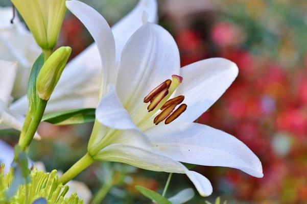 Un giglio in fiore