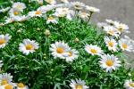 Margherite in piena fioritura