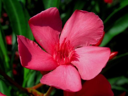 Fiore rosso di oleandro.