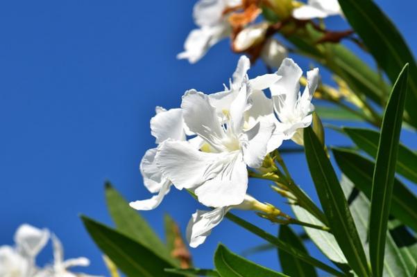 I fiori bianchi di oleandro sono quelli che si vedono di più sulle autostrade.