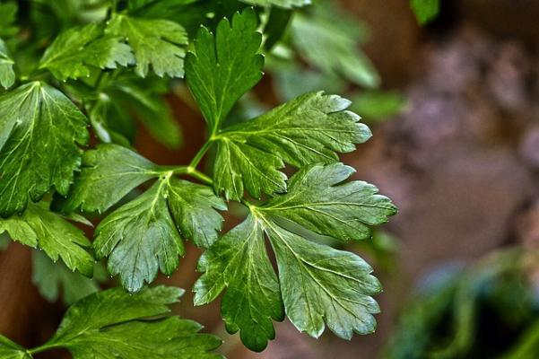 Tipica forma delle foglie di prezzemolo
