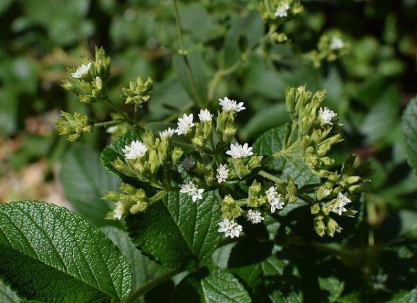 Flores de stevia