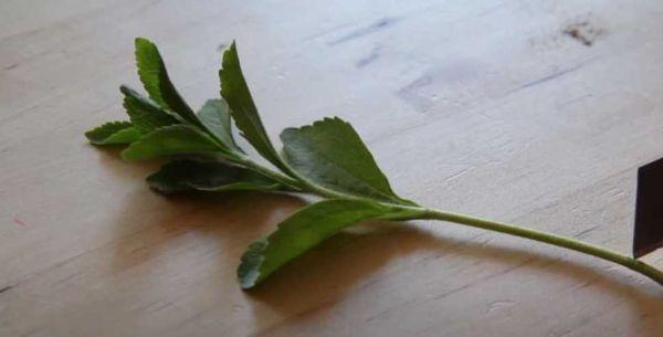 Ramita de stevia lista para estar en el suelo