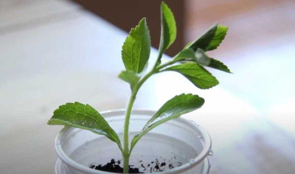 En lugar de un jarrón, también se puede usar en un vaso de plástico.