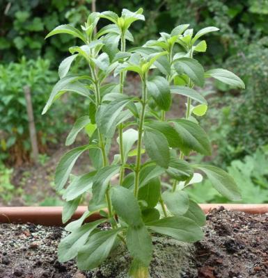 Pianta di stevia pronta per la prima potatura