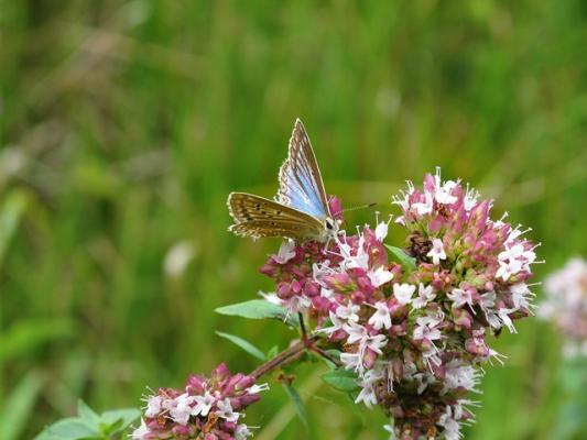 L'origano in fiore attira molte farfalle