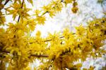 Abbondante fioritura di gelsomini