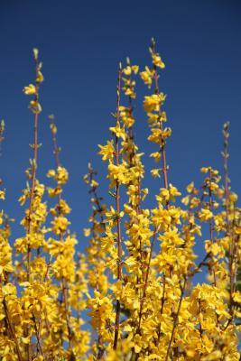 Se ben potato e concimato il gelsomino produrrà molti fiori