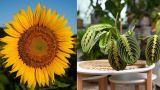 Girasole e Maranta sono il fiore e la pianta del 2021