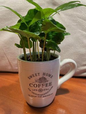 Piantina di caffè in vaso