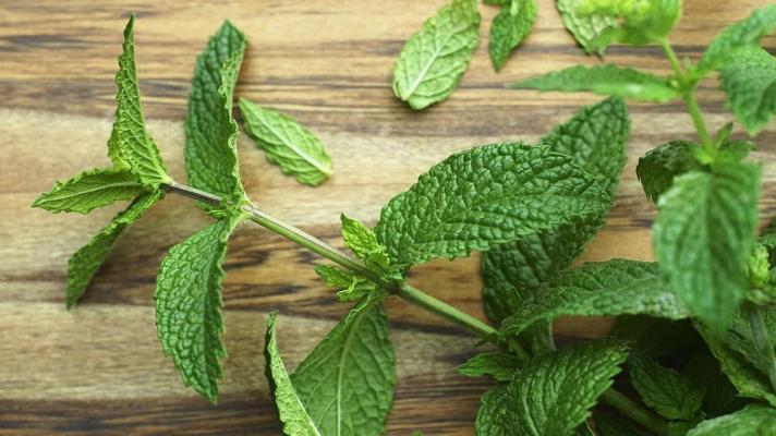 Coltivare la Menta ramo da thespruceeats.com