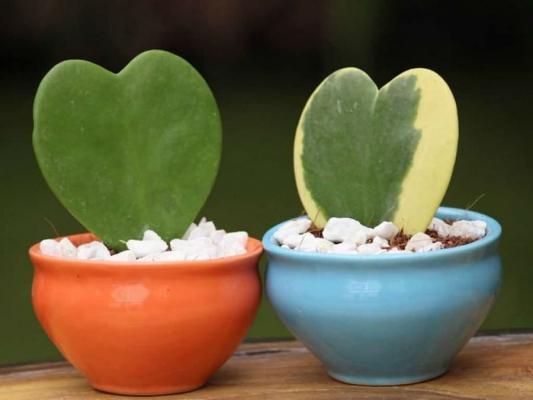 L'Hoya kerrii, da worldofsucculents.com
