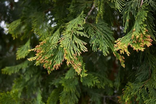Conifere foglia