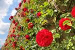 Rose rampicanti in fioritura