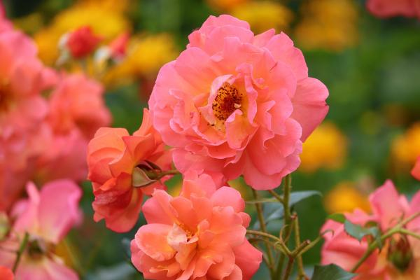 Rose damascate