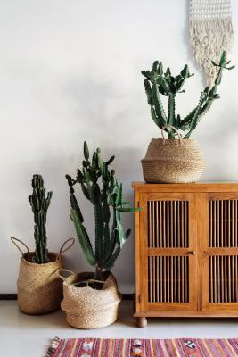 Piante da appartamento, cactus