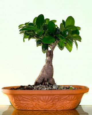 Piante da interni, Ficus bonsai
