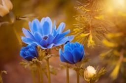 Anemone blu